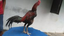 Cara Mengobati Ayam Ngorok Dengan Mudah dan Ampuh