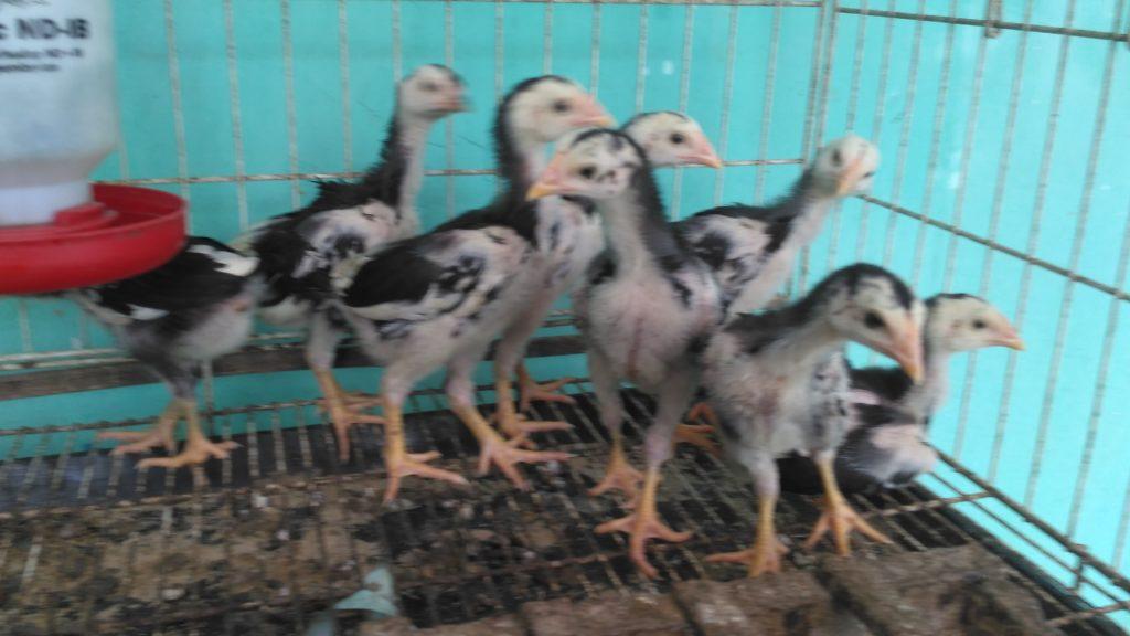 Agar Anakan Ayam Aduan Cepat Tinggi Besar