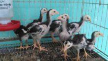 Anakan Ayam Bangkok Ori Super Teknik Pukul Umur 1 Bulan