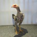 Ayam Aduan Umur 3 Bulan Jenis Mangon Ori