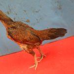 Ayam Babon Mangon Ori Super