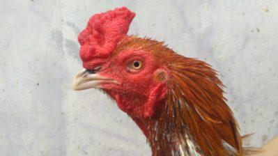Ayam Bangkok Pacek Super Yoni Menangan
