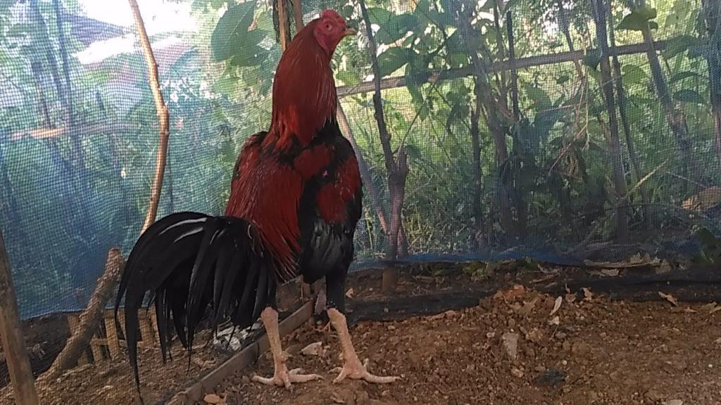 Ayam Bangkok Pukul Jiling