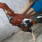 Ayam Bangkok Super Pembunuh