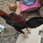 Ayam Bangkok Super Teknik Gulung Pukul Jalu