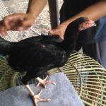 Ayam Brutal Patuk Punggung Cabut Bulu