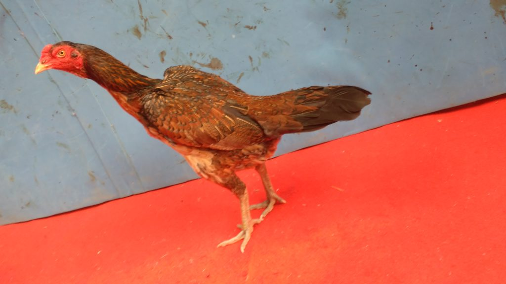 Ayam Mangon Betina Super