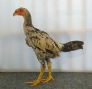 Anakan Ayam Mangon Umur 3 Bulan