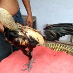 Ayam Pama Ori Full Timpuk Pukul Saraf