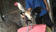 Ayam Pama Ori Jalak Full Speed Pukul Jalu Akurat