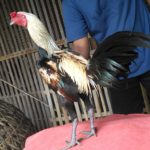 Ayam Pama Ori Pukul Jiling