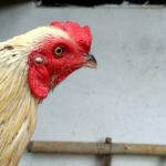 Bentuk Cenger dan Muka Ayam Pama Ori