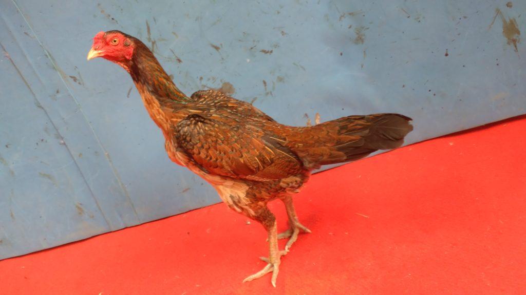 Betina Ayam Mangon Ori