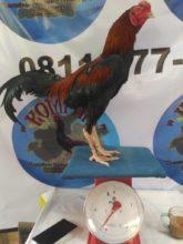 Inilah Cara Paling Ampuh Mengobati Bubul Pada Ayam Aduan