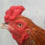 Ciri Ciri Janggar Paruh Mata Kepala Ayam Pukul Mati