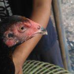 Ciri Ciri Paruh Mata Kepala Ayam Brutal Brakot
