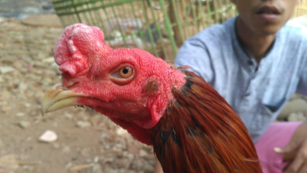 Model Kepala Ayam Bangkok Cakut dan Super Teknik