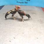 Teknik Gaya Tarung Ayam Bangkok