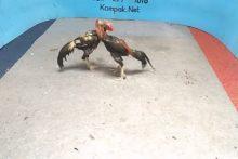 Inilah Jenis Gaya Tarung Ayam Bangkok Yang Paling Banyak Dicari