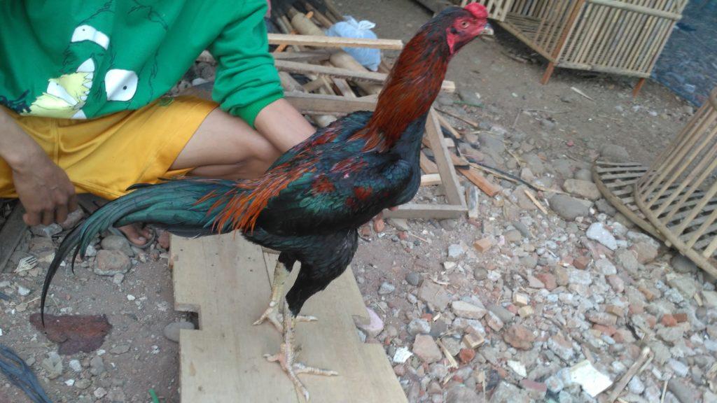 Ayam Aduan Istimewa