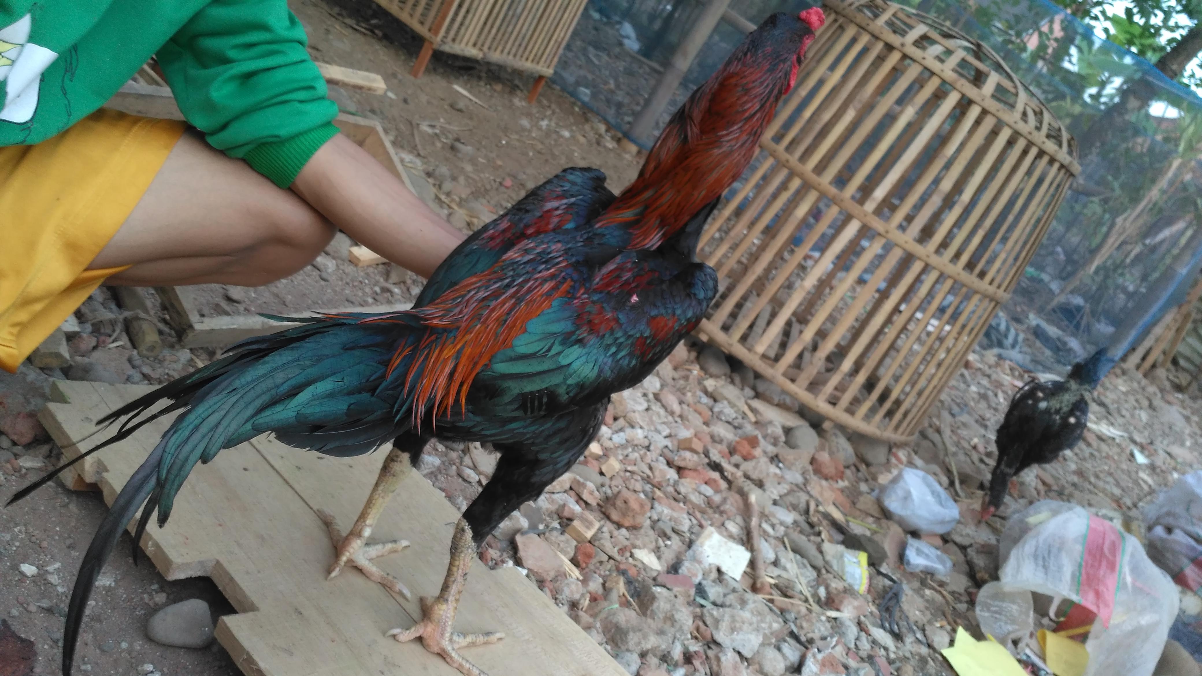 Ayam Bangkok Menangan