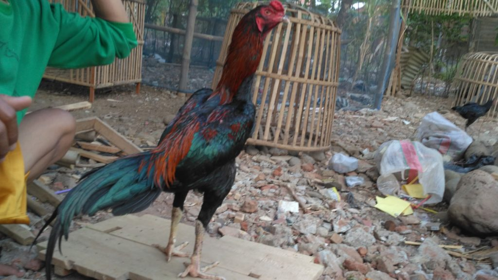 Ayam Bangkok Pakhoy Super Pukul Mati