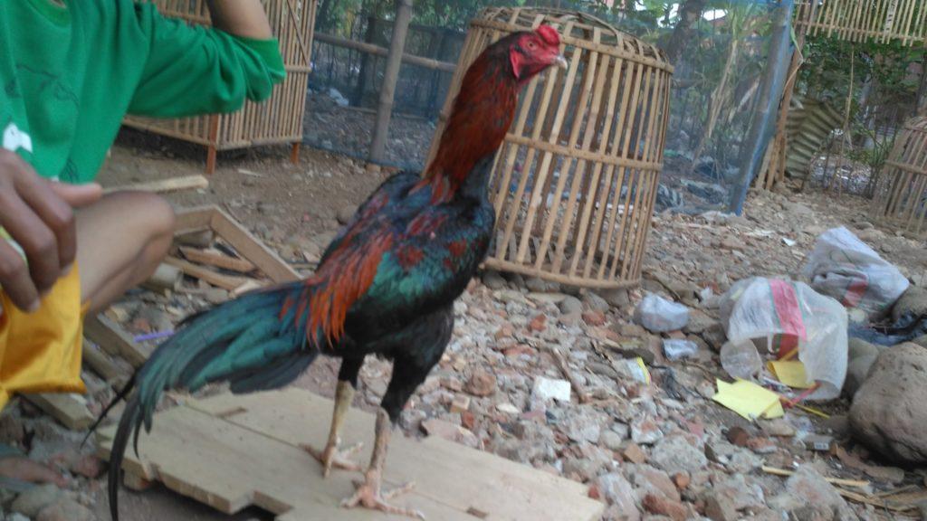 Ayam Bangkok Purwokerto Menang 5x