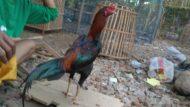 Ayam Bangkok Super Pukul K.O Trah Menangan