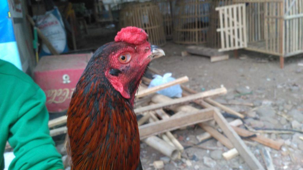 Ciri Ciri Cenger Wajah Kepala Ayam Bangkok Super Pukul Cakut