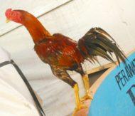 Ayam Mangon Super VVIP Spesial Undangan & Kontes [Khusus Pacek]
