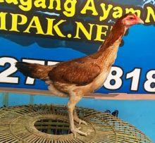 Ayam Mangon Betina Indukan Super F1