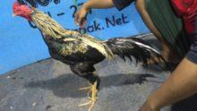 Jual Ayam Bangkok Super Jalu Pukul Mati