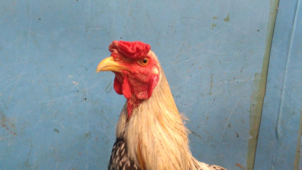 Jual Ayam Mangon Lancuran 7 Bulan Bakat Super Jalu