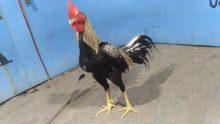 Jual Ayam Bangkok Lama Super Cakut Pukul Jalu