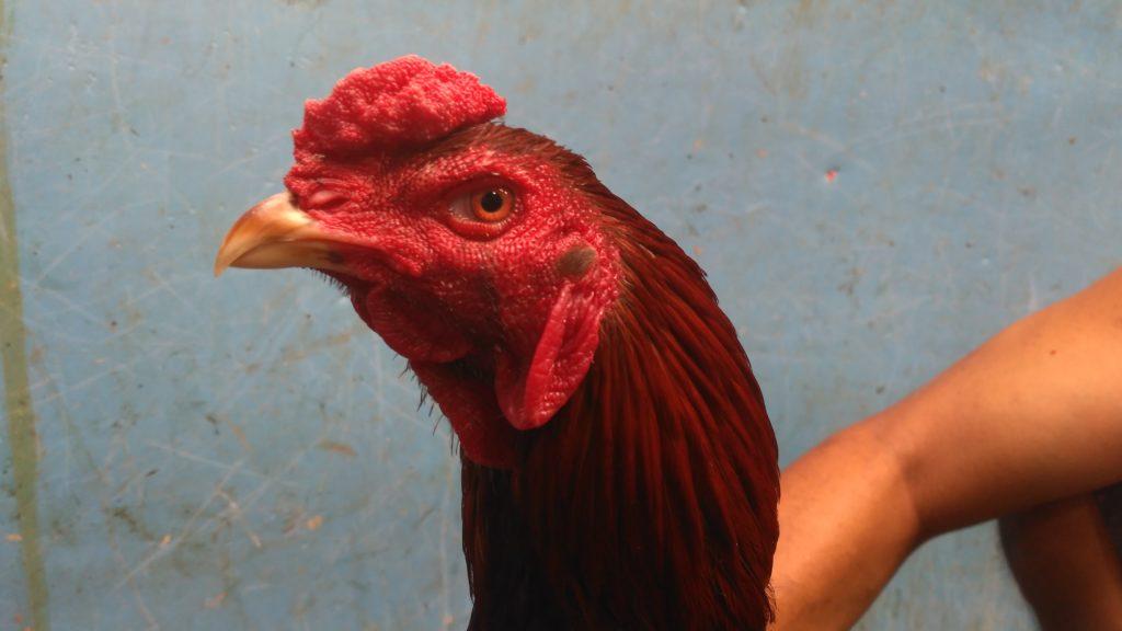 Jual Lancuran Ayam Bangkok Teknik Pukul Jalu