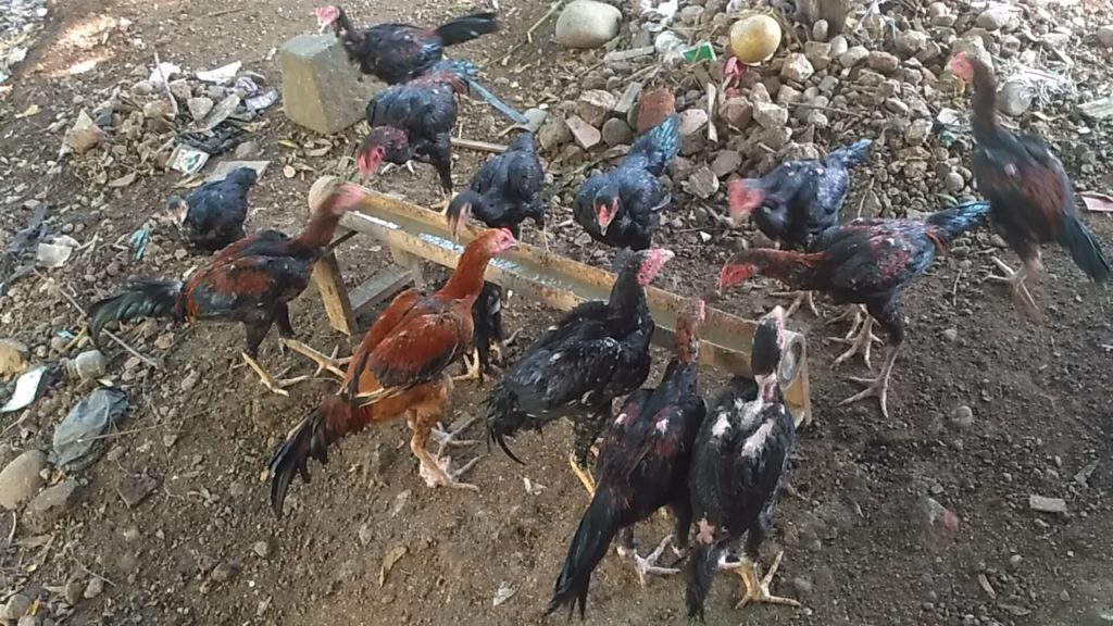 Jual Ayam Bangkok Lancuran Umur 4 5 6 Bulan