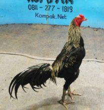Manfaat Telur Puyuh Untuk Ayam Rawatan dan Siap Adu