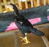 Anakan Ayam Bangkok Super Umur 3 Bulan Full Ubed
