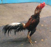 Jual Ayam Bangkok Super Jalu