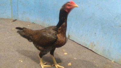 Jual Ayam Bangkok Betina Super Cetak Pukul Berat