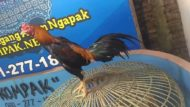 Ayam Bangkok Super Pukul Badan Wiring Kuning