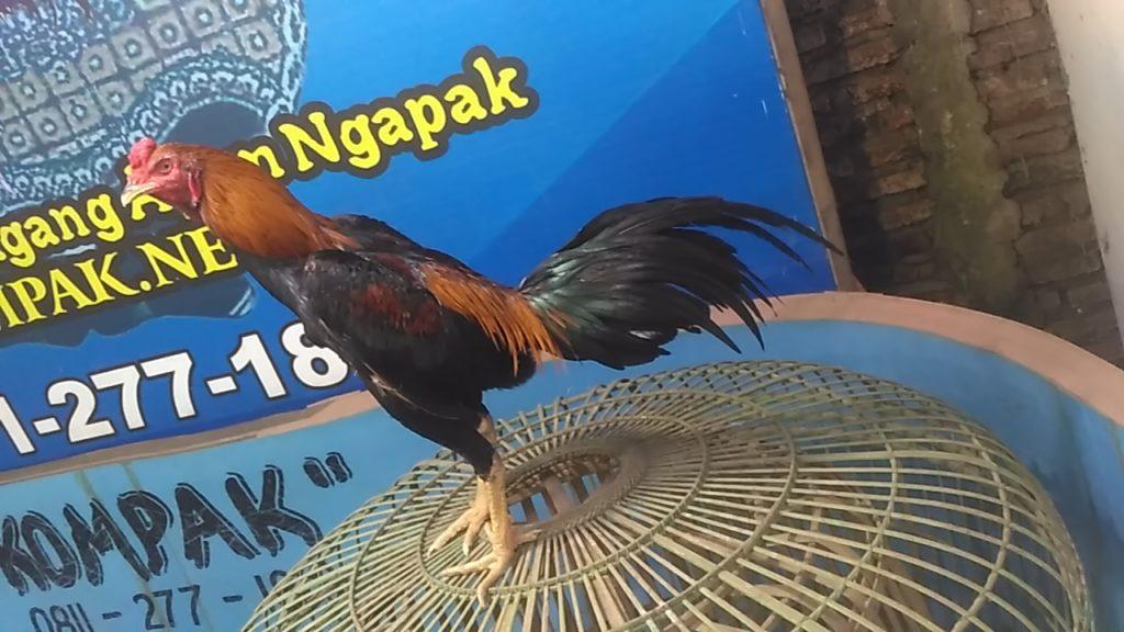 Ayam Bangkok Super Pukul Badan